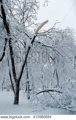 Falling Tree After Sleet Load And Snow At Snow-covered Winter Park In A City. Weather Forecast Conce
