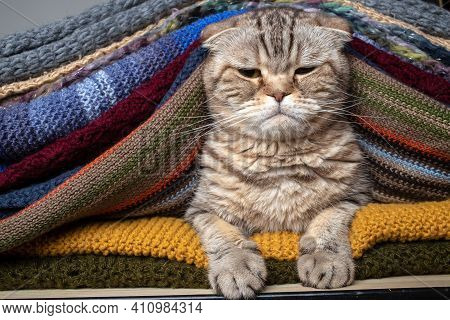 Dissatisfied Cat Scottish Fold Sits Proudly In A Stack Of Multi-colored, Knitted Scarves. Preparing