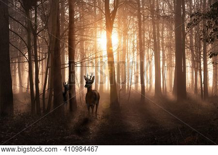 Young Deer In A Sunrise And Misty Winter Forest. Natural Woodland Dawn Landscape In Norfolk England.