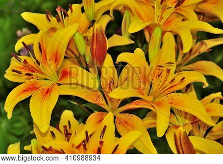 Floral Background With Wet Yellow Lilies In Garden Close Up. Waterdrops On Delicate Petals - Symbol