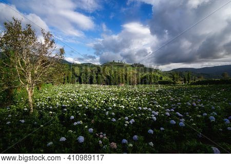 The Beautiful Scenery Of The Hydrangea Flower Field At Khun Pae, Chiang Mai, Thailand.