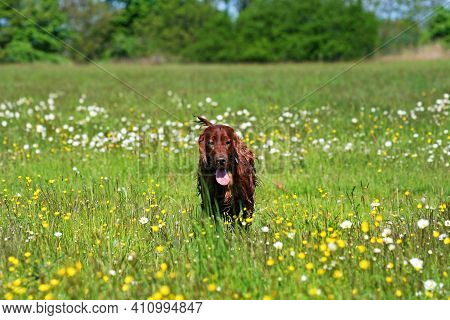Beautiful Happy Irish Red Setter Pet Dog Walking In The Grass In The Flower Field . Spring, Summer C
