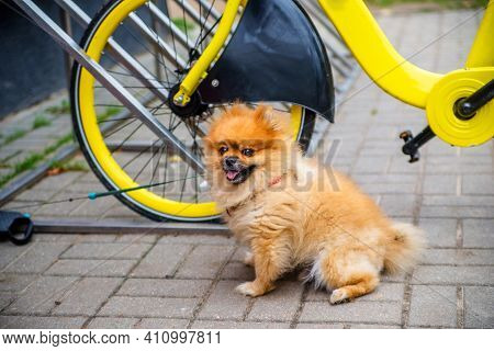 Pomeranian Dog Sits Near The Yellow Bike