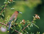 Cedar wax wing perched on a branch eating a bug. poster