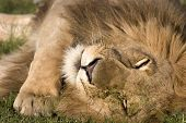 Lion resting in Masai Mara National Park Kenya poster
