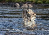 Close up image of a timber wolf walking through through water, toward the camera poster