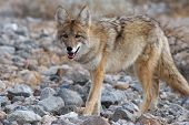 a young coyote strolling through  death valley poster