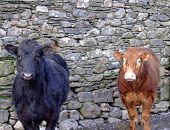 two bullocks,one black one brown,looking inquisitive poster