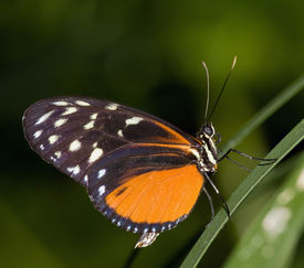 Grasshopper Schmetterling