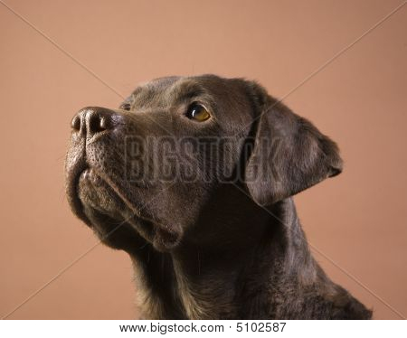 Brown Labrador