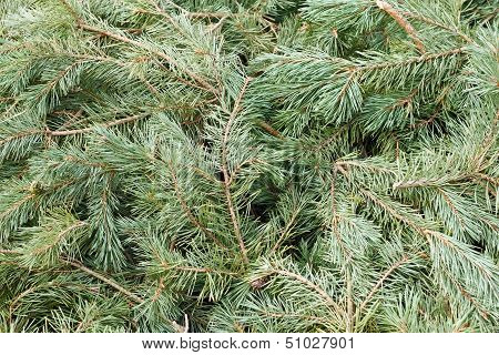 Background of branches and needles from a pine tree