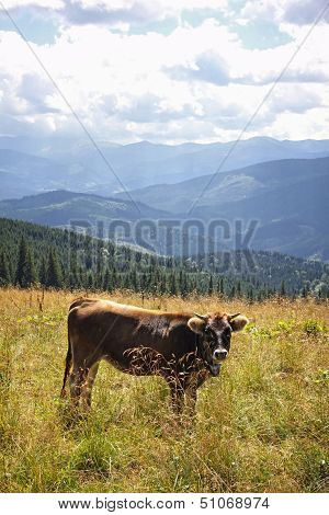 Cow on the pasture in Carpathian mountains, Ukraine poster