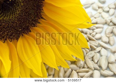 Sunflower With Seeds - Closeup