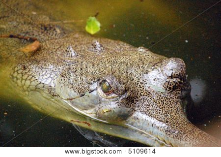Auge des der alligator