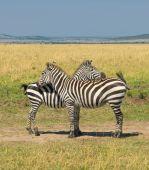 two zebras masai mara national park kenya poster