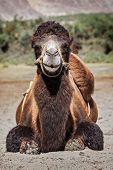 Bactrian camels in Himalayas. Hunder village, Nubra Valley, Ladakh, Jammu and Kashmir, India poster
