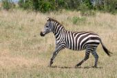 running zebra masai mara kenya african safari poster