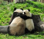 Giant Panda and baby hugging in Chengdu Breeding centre China poster