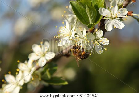 spring blooming of plum tree and a bee poster