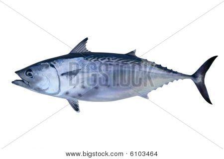 Little Tunny Catch Tuna Fish Seafood