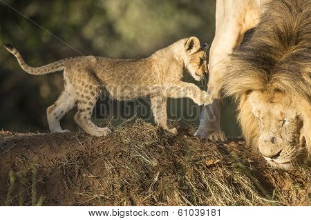 African Lion Male And Cub (panthera Leo) South Africa