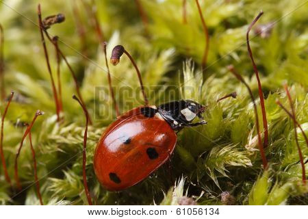 poster of Macro red ladybug on a fluffy moss spring. horizontal