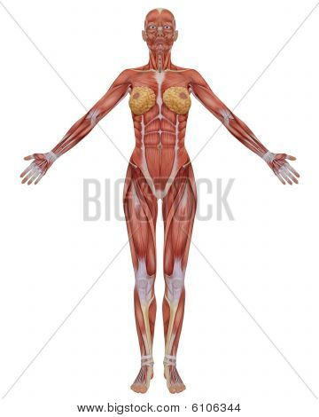 Female Muscular Anatomy Front View