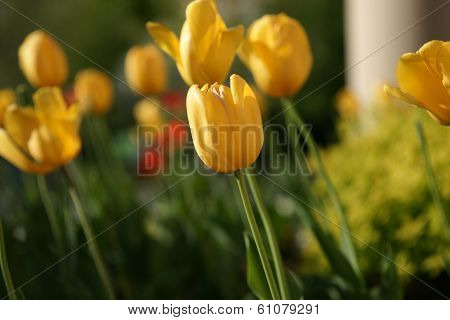 A Selective Focused Yellow Tulip Amongst Other Flowers