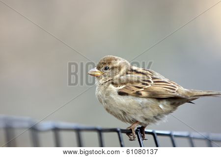 A Small Bird (finch) Standing On A Wire Fence