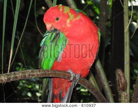 Australian King Parrot  Male 07