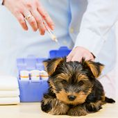Veterinary treatment - vaccinating the Yorkshire puppy, veterinary care concept poster