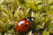 Macro red ladybug on a fluffy moss spring. horizontal poster