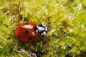 the Ladybug spring moss closeup. horizontal. macro poster