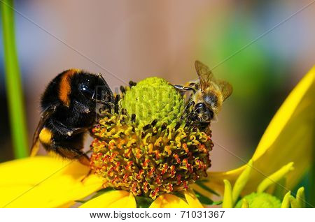 Bumblebee and bee on flower