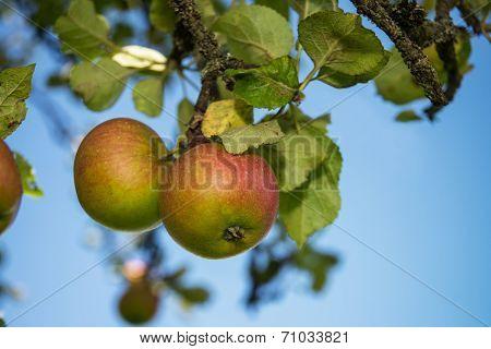 Apples At Tree