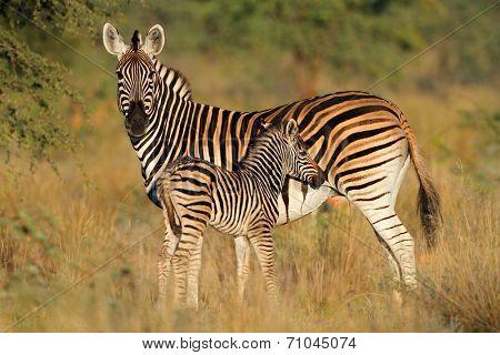 Plains zebra (Equus burchelli) mare with foal in natural habitat, South Africa, soft focus