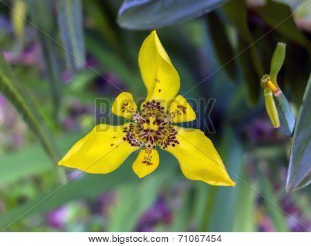 Yellow Walking Iris.