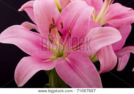 Oriental Pink Lilly