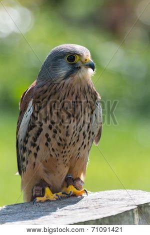Kestrel, Bird Of Prey