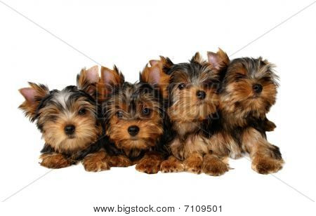 Four yorkshire puppies