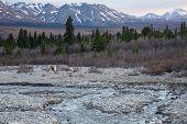 A caribou scratches in Alaska's Denali National Park poster