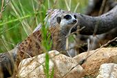 Mongoose meerkats living in the zoo. Mischievous and curious animals poster