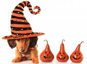 Longhair dachshund puppy, wearing a Halloween witch hat.  poster