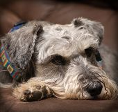 Grey miniature schnauzer dog resting on a brown surface indoors. Vignetting added. poster