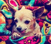 a cute chihuahua toned with a retro vintage instagram filter effect poster