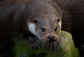 Portrait of curious and wet European Otter poster