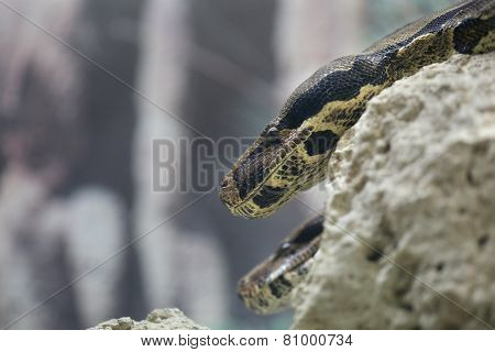 Head Of Two Python Snakes