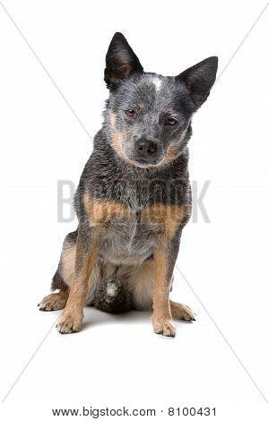 Australian cattle dog also known as kelpie
