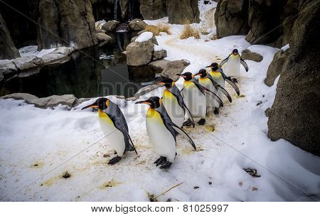 King Penguins walking