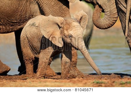 A cute baby African elephant (Loxodonta africana), Addo Elephant National Park, South Africa